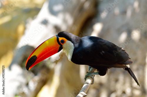In de dag Toekan toucan outdoor - Ramphastos sulphuratus