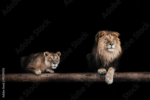 Fotografie, Obraz  Lev a lvice, Portrét krásné lvů, lvi v da