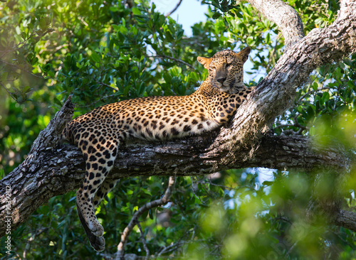 Poster Leopard The leopard lies on a large tree branch. Sri Lanka. An excellent illustration.