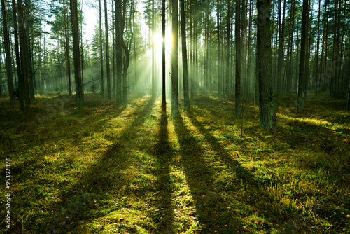 Fototapeta Sunlight in forest. obraz na płótnie