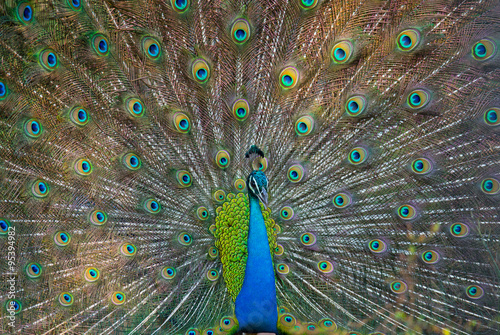 Portrait of a peacock on the background of his tail. Close-up. Sri Lanka. An excellent illustration. #95394982