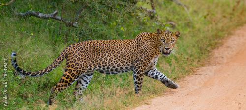 Tuinposter Luipaard Leopard walking on the road. Sri Lanka. An excellent illustration.
