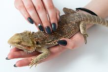Bearded Dragon Laying On Women Hand