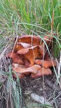 Ceppo Di Funghi Velenosi