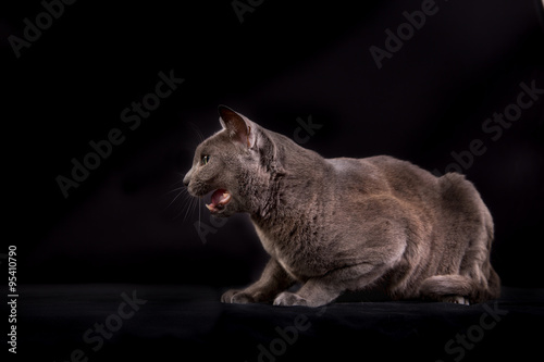 Foto op Aluminium Buffel Purebred Korat cat