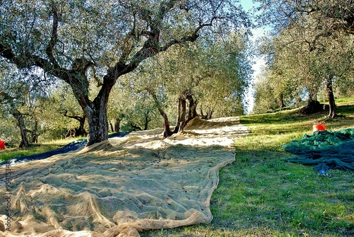 Photo sur Toile Oliviers raccolta olive in toscana