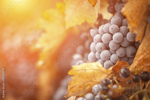 Photo Lush, Ripe Wine Grapes with Mist Drops on the Vine