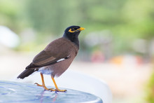 Bird Standing On Table,  Mynah...