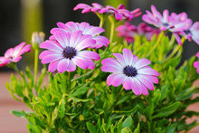 Closeup Of Violet Cape Daisy (Asteraceae Osteospermum) With Purple Center