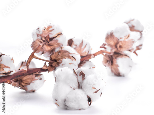 Flowers mature cotton on a white background © seqoya
