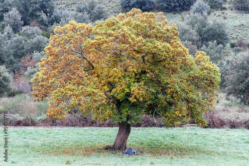 Castanea sativa. Castaño en otoño.