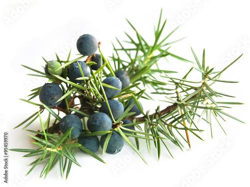 Fototapeta Common Juniper (Juniperus communis)  obraz