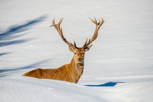 Deer Portrait On The Snow Background