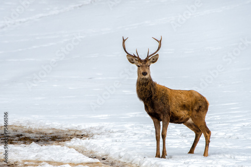 Poster Taupe Deer on the snow background