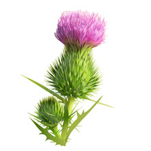 Thistle.  Hand Drawn Vector Illustration Of A Thistle Flower And Bud With Accurate Details In Realistic Style.White Background.