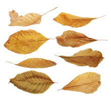 Set Flying Yellow Fallen Autumn Dry Leaves Walnut  Isolated On White Background, With Clipping Path