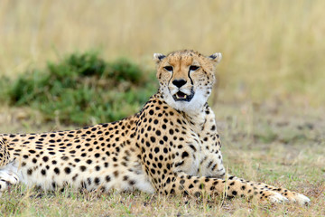 FototapetaCheetah. Africa, Kenya