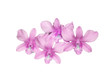 purple orchid branch isolated on white background