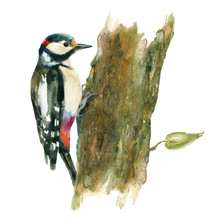 Watercolor Bird. Woodpecker On...