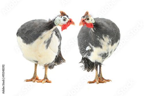 Foto Guinea fowl