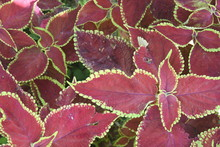 Red Burgandy And Green Leaves ...