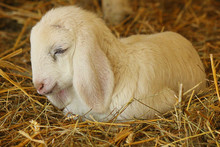 Lamb Sleeping In The Straw