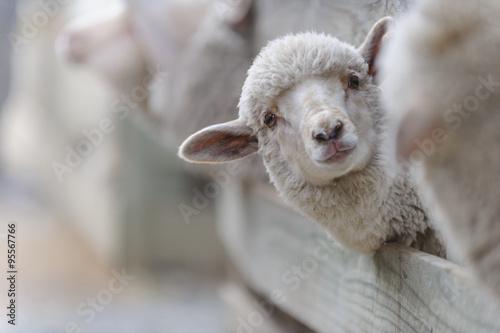 In de dag Schapen Schaf Aufzucht 1