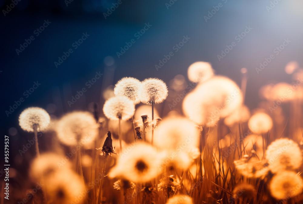 Fototapety, obrazy: Dandelions at sunset