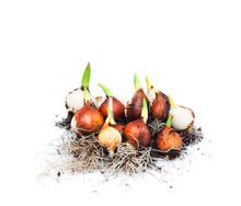 Tulip  Bulbs On White Background