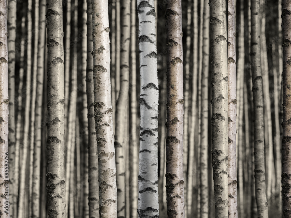Fototapety, obrazy: Seamless birch forest