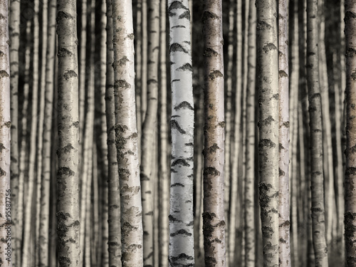 Obraz Seamless birch forest - fototapety do salonu