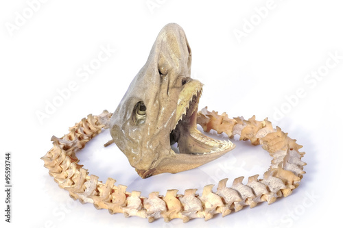 Photo  Head of shark/Head of a real juvenile shark with backbone of snake