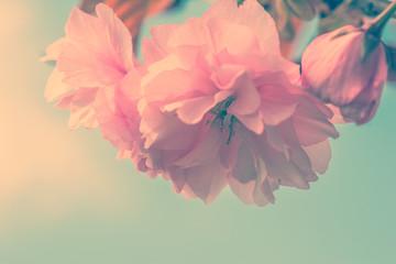 Obraz na SzkleSakura flower cherry blossom.