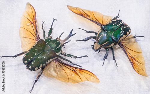 Photo  close-up of Pronghorn Beetle (lat. Chelorrhina polyphemus), Buru
