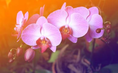 Fototapeta Storczyki Beautiful purple orchid - phalaenopsis