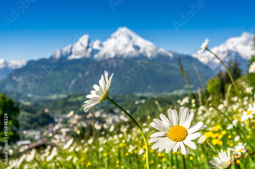 Papiers peints Marguerites Beautiful blooming mountain flowers in snowcapped Alps in spring