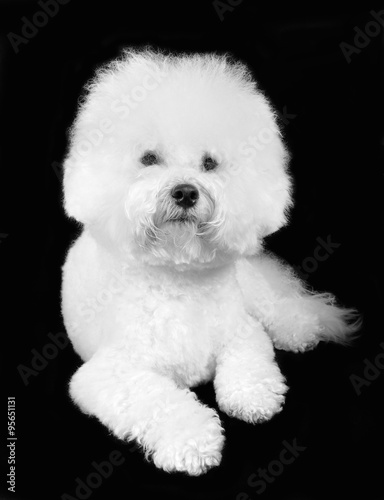 Fotografia, Obraz  Bichon frise fluffy white dog isolated on the black background