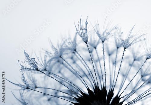 Obraz w ramie Dewy dandelion flower close up