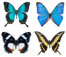 close-up of collection multi-colored beautiful butterflies (Blue