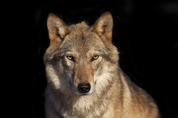 Fototapeta Eye to eye portrait with grey wolf female on black background. Horizontal image. Beautiful and dangerous beast of the forest.