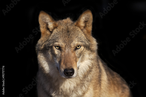 Poster Wolf Eye to eye portrait with grey wolf female on black background. Horizontal image. Beautiful and dangerous beast of the forest.