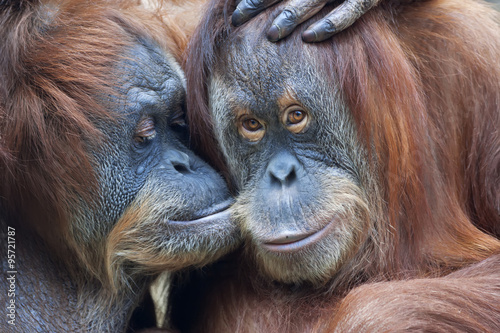 Foto op Canvas Aap Wild tenderness among orangutan. Mother's kissing her adult daughter.