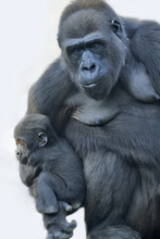 A Gorilla Mother With Her Baby...