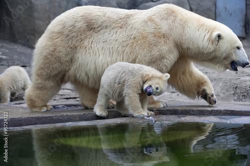 Poster Polar bear An unusual look at the world of a polar bear baby