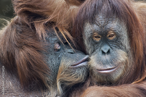 Deurstickers Aap Wild tenderness among orangutan. Mother's kissing her adult daughter.