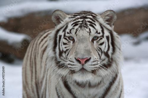 In de dag Tijger A calm white bengal tiger among snow.