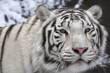 A macro portrait of a white bengal tiger on black and white background