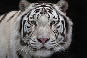 Interest in eyes of a young white bengal tiger.