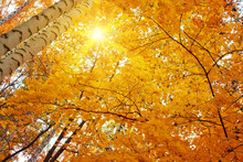 Yellow Autumn Birch Leaves, Autumn Background
