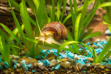 Striped Brown Snail Crawling On A Leaf Ampularia Eel